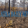 The floor of this area of the forest is 100% consumed due to the intense heat of the fire when it came through this area. According to wildlife biologist Liz Ramirez, because we are in the main growing season, this area will be green again within a few weeks. Fran Ruchalski/Palatka Daily News