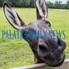 A young mule puts his head across the fence that separates him from Springside Shortcut Road on Thursday morning. Fran Ruchalski/Palatka Daily News