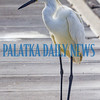 An egret hangs out on the docks at Riverfront Park looking for a tasty morsel. Fran Ruchalski/Palatka Daily News