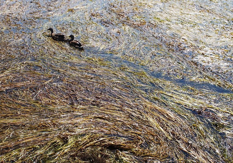 Mallard ducks swim through the weeds on Cheshire Lake. The north end of Cheshire Lake is still choked with tape grass (Vallisnaria americana) even after SOLitude Lake Management has removed 80 truckloads of the biomass over the past six days.  Wednesday, August 24, 2016. Ben Garver — the Berkshire Eagle | photos.berkshireeagle.com