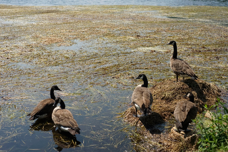Canada geese stay on shore to avoid weeds on Cheshire Lake. The north end of Cheshire Lake is still choked with tape grass (Vallisnaria americana) even after SOLitude Lake Management has removed 80 truckloads of the biomass over the past six days.  Wednesday, August 24, 2016. Ben Garver — the Berkshire Eagle | photos.berkshireeagle.com