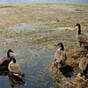 Canada geese stay on shore to avoid weeds on Cheshire Lake. The north end of Cheshire Lake is still choked with tape grass (Vallisnaria americana) even after SOLitude Lake Management has removed 80 truckloads of the biomass over the past six days.  Wednesday, August 24, 2016. Ben Garver — the Berkshire Eagle   photos.berkshireeagle.com