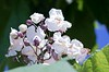 Catalpa blooms south of Chadron State College's Chicoine Center Tuesday, June 20, 2017. (Photo by Tena L. Cook/Chadron State College)