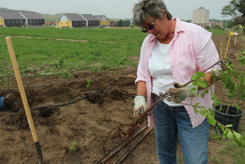 Chadron State College Horticulturist Lucinda Mays trims the roots of a plum tree July 8, 2015, before planting it in CSC's Living Fence that runs parallel to Tenth Street. (Tena L. Cook/CSC)