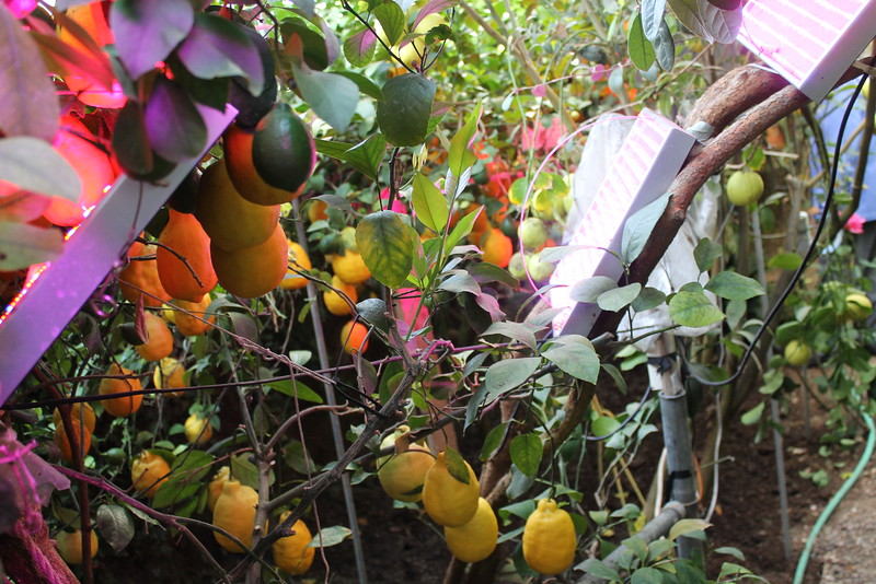 Grow lights positioned to shine underneath the foliage to increase the size of the lower fruit in the Greenhouse in the Snow in Alliance, Nebraska. (Photo by Kellie Aye, NBDC graduate assistant)