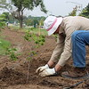 Chadron State College employee Charlie Wood plants a plum tree July 8, 2015, in a Living Fence intended to attract pollinators and birds along Tenth Street. (Tena L. Cook/CSC)