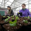 BEN GARVER - THE BERKSHIRE EAGLE <br /> Claire Ward and Erin Benken pot fuchsia plants at Ward's Nursery in Great Barrington. Fuchsia is one of many annual plants that are planted after the danger of frost has passed, and the nursery is gearing up for the growing season.