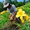 KRISTOPHER RADDER — BRATTLEBORO REFORMER<br /> In just his bare feet, Chris Darrow, owner of Olallie Daylily, in South Newfane, gets different lily bulbs for clients on Saturday, July 27, 2019.