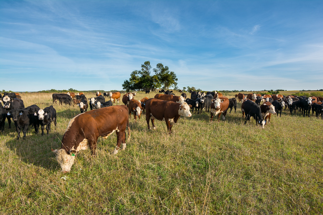 On a typical cattle farm in Minnesota, vegetation (known as forge) is completely consumed, practically to bare ground, before cattle are moved to a different grazing area.  This practice is called continuous grazing.  Farmers do this because they want their cattle to consume all the available protein on the land.   Think of it like licking your plate clean.