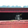 Sarah Howard/North Adams Transcript<br /> <br /> A cow sticks its head into the sunlight this Saturday in Hancock.