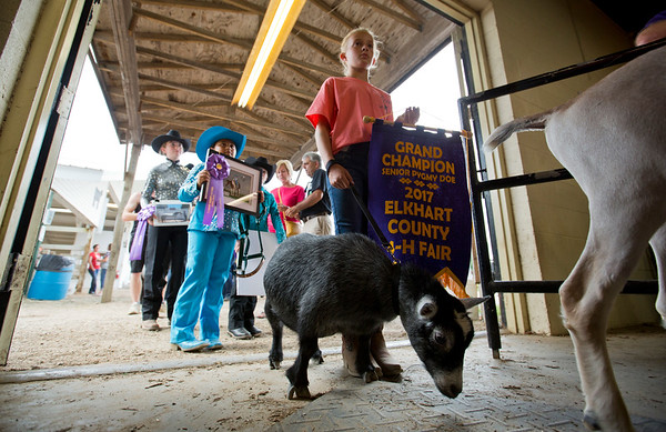 JAY YOUNG | THE GOSHEN NEWS<br /> Twelve-year-old Madison Kliewer, of Middlebury, handles a pygmy goat owned by Ashton Rice, of Nappanee, as she waits to enter the beef arena during the parade of champions Thursday evening at the Elkhart County 4-H Fair.