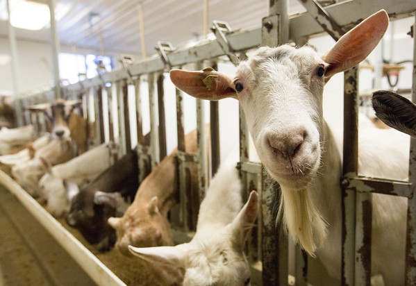 JAY YOUNG | THE GOSHEN NEWS<br /> A curious goats looks up while others feed as they stick their heads out of their stalls while being milked Wednesday morning.