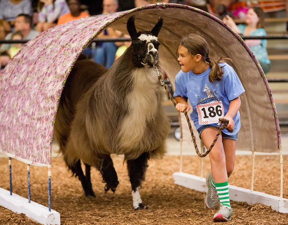JAY YOUNG | THE GOSHEN NEWS<br /> Ten-year-old Jasmine Carpenter, of Middlebury, leads her lama, Natasha, under an obstacle during a lama agility skills competition at the Elkhart County 4-H Fair Wednesday morning.