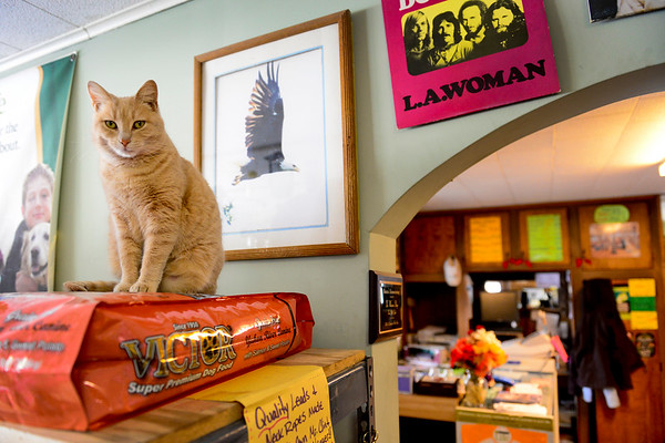 BEN MIKESELL | THE GOSHEN NEWS<br /> Smoochie the cat sits atop a bag of dog food in Jack's Feed Shack Thursday in Bristol. Smoochie is one of two cats who keep watch over the store.
