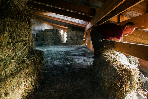 JAY YOUNG | THE GOSHEN NEWS<br /> Tim Clark tosses hay from the loft in his barn to feed his goats down below while doing chores Wednesday morning.