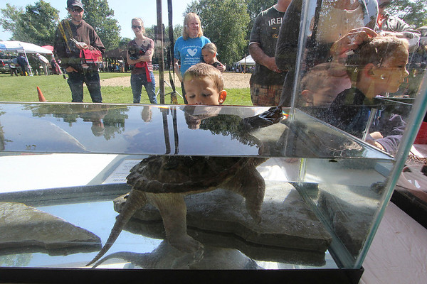 Roger Schneider   The Goshen News<br /> A boy looks into an aquarium holding a young snapping turtle during the Middlebury Riverfest Saturday morning.