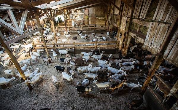 JAY YOUNG | THE GOSHEN NEWS<br /> Goats fill the barn at Tuckhill Farm as they wait to be fed Wednesday morning after being milked.