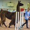JAY YOUNG | THE GOSHEN NEWS<br /> Myiah Donnelley leads her lama Starbucks through an obstacle course during an lama agility skills competition at the Elkhart County 4-H Fair Wednesday morning.