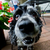 JAY YOUNG | THE GOSHEN NEWS<br /> Finnegan, a cocker spaniel, is one of the dogs available from Second Chance Small Dog Rescue.