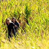 Roger Schneider | The Goshen News<br /> Mackenzie Weaver, 16, and her sister Madison, 12, right, play hide-and-seek in a corn mae with their parents Tim and Jennifer Saturday at Kercher's Sunrise Orchard and Farm Market in Goshen. The family is from Nappanee.