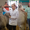 JAY YOUNG | THE GOSHEN NEWS<br /> Rabbit champion Brenna White shows a llama during the small animal round robin event Thursday evening at the Elkhart County 4-H Fair. White won the event.