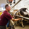JAY YOUNG | THE GOSHEN NEWS<br /> Tim Clark milks goats Wednesday morning at his farm east of Goshen.