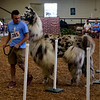 CHRISTINA CLARK | THE GOSHEN NEWS<br /> Tristan Ott, of Goshen, leads his lama Appletini through the obstacle course during the lama agility skills competition Wednesday morning at the Elkhart County 4-H Fair.