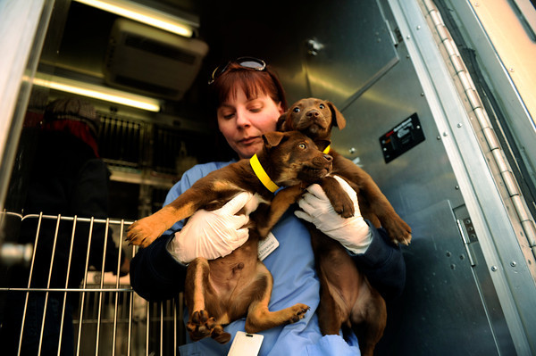Pet Transfer.JPEG-04fbc.JPG Dawn Hampson, behavior and health coordinator carries two puppies after arriving at the Humane Society of Boulder Valley, in Boulder, Colo., Tuesday,  Feb. 28, 2012. The puppies came from Oklahoma.  (AP Photo/The Denver Post, Joe Amon)  MANDATORY CREDIT; MAGS OUT; TV OUT