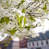 BEN GARVER — THE BERKSHIRE EAGLE<br /> Linden blossoms shine Park Square in Pittsfield.