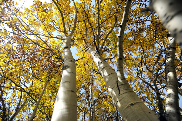 "Aspen trees changing color on the Peak to Peak Scenic Byway near Nederland. For more photos and video of the changing colors go to  <a href=""http://www.dailycamera.com"">http://www.dailycamera.com</a><br /> Jeremy Papasso/ Camera"
