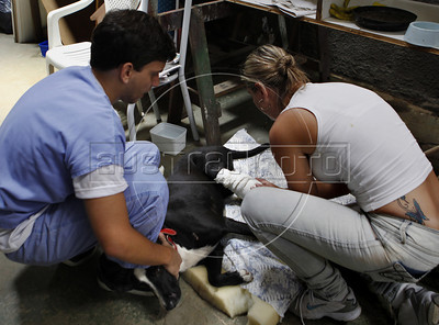 Veterinaries and volunteers take care of a wounded dog just rescued from a destroyed house by tragic mudslide in Nova Friburgo in Nova Friburgo, Rio de Janeiro state, Brazil, January 22, 2011 . Many volunteers are helping save hundred pets and others animals that were left behind by their owners or lost after they proprietors are killed in the mudslide in the mountainous region, when a massive wall of water descended narrow valleys, carrying away anything in it's path. (Austral Foto/Severino Silva)