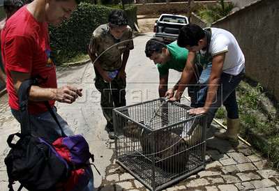 Volunteers rescue a capybara trapped in a drainage after tragic mudslide in Nova Friburgo, Rio de Janeiro state, Brazil, January 23, 2011 . Many volunteers are helping save hundred pets and others animals that were left behind by their owners or lost after they proprietors are killed in the mudslide in the mountainous region, when a massive wall of water descended narrow valleys, carrying away anything in it's path. (Austral Foto/Severino Silva)