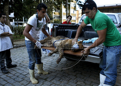 Volunteers take care of a wounded dog just rescued from a private residence in Nova Friburgo, Rio de Janeiro state, Brazil, January 23, 2011 . Many volunteers are helping save hundred pets and others animals that were left behind by their owners or lost after they proprietors are killed in the mudslide in the mountainous region, when a massive wall of water descended narrow valleys, carrying away anything in it's path.   (Austral Foto/Severino Silva)