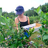 KRISTOPHER RADDER — BRATTLEBORO REFORMER<br /> People pick blueberries at Green Mountain Orchard, in Putney, on Monday, July 29, 2019.