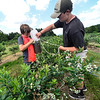 KRISTOPHER RADDER — BRATTLEBORO REFORMER<br /> Mason Barcomb, 17, pours the blueberries he picked into the container that Tyler Barcomb, 10, was holding while blueberry picking at Green Mountain Orchard, in Putney, on Monday, July 29, 2019.