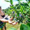 KRISTOPHER RADDER — BRATTLEBORO REFORMER<br /> Christina Young, of Rupert, Vt., made the drive to Green Mountain Orchard, in Putney,  to pick blueberries on Monday, July 29, 2019.