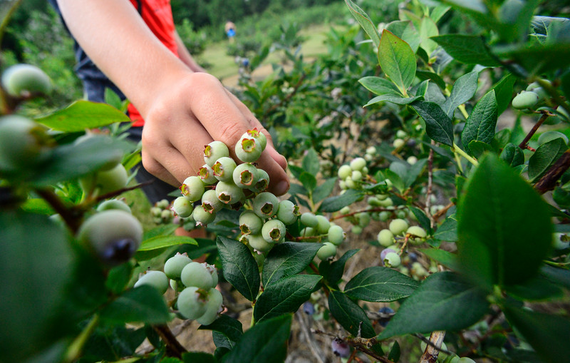 KRISTOPHER RADDER — BRATTLEBORO REFORMER<br /> Tyler Barcomb, 10, of Brattleboro, picks a fresh blue blueberry from a patch of green as they start to ripen at Green Mountain Orchard, in Putney, on Monday, July 29, 2019.