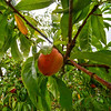 KRISTOPHER RADDER — BRATTLEBORO REFORMER<br /> These peaches don't come from a can, but were picked by a man, Mark Braden, at Dwight Miller Orchard, in Dummerston, on Tuesday, Aug. 13, 2019.  Braden has worked for the orchard for the last seven years and has a keen eye to find the right peaches to pick. People can pick their own peaches.