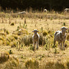 (ALL RIGHTS) December 2011. A merino sheep ranch under Ovis XXI management in the Patagonian Steppe ecoregion of Argentina's Neuquén Province. The Conservancy is working with Ovis XXI to protect Argentina's temperate grasslands by promoting best practices in sustainable grazing in these fragile, arid grasslands. Photo credit: © Erika Nortemann/TNC