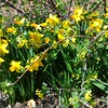 Jetfire daffodils and Crandall's clove currants blooming near Chadron State College's Sparks Hall April 23, 2017. (Lucinda Mays photo)