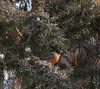 A robin rests on a berry-filled juniper branch between the King Library and Miller Hall Monday, February 18, 2019. (Tena L. Cook/Chadron State College)