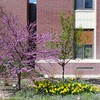 Memorial Hall April 23, 2017, adorned with redbuds, daffodils, and periwinkle planted by students in Lucinda Mays' Chadron State College horticulture class. (Lucinda Mays photo)