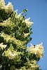 A Japanese lilac tree blooms near Sparks Hall June 13, 2018. (Photo by Tena L. Cook/Chadron State College)