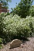 Mock orange blossoms in the Virgil E. and Delores Y. Ireland garden between Old Admin and Sparks Hall June 13, 2018. (Photo by Tena L. Cook/Chadron State College)