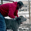 "Travis Van Anne of Gering tags a Charolais bull calf at his family's ranch near Dalton, on Tuesday, Sept. 6. Every calf at the ranch is tagged and given a 7-way vaccine shortly after birth to prevent enterotoxemia, a disease commonly known as ""purple gut."" Van Anne will teach a course at Chadron State College in April 2018. (Courtesy of Spike Jordan/Star-Herald)"