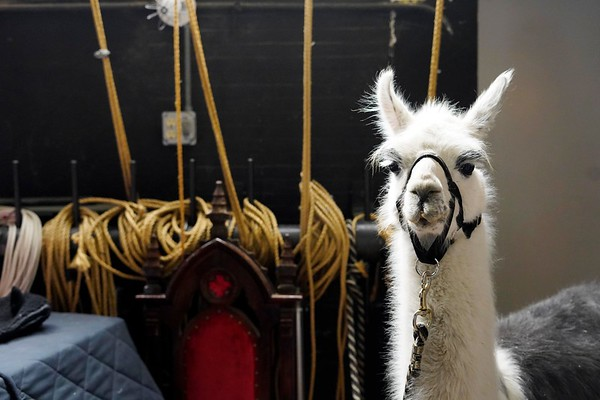 BEN GARVER — THE BERKSHIRE EAGLE<br /> A llama waits backstage at the Berkshire Museum  for the Records and Burpee Zoo Show, Friday, February 22, 2019. Alexandra Burpee and Larry Records of Dudley, Ma, make up the Records and Burpee Zoo Show, a traveling educational show featuring unusual animals.