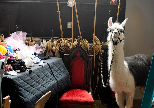 BEN GARVER — THE BERKSHIRE EAGLE<br /> A llama waits backstage at the Berkshire Museum  for the Records and Burpee Zoo Show, Friday, February 22, 2019. Alexandra Burpee and Larry Records of Dudley, Ma, visited the museum with a sample of the exotic animals they use for education.
