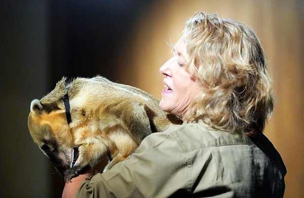 BEN GARVER — THE BERKSHIRE EAGLE<br /> Alexandra Burpee holds a coati (South American raccoon) for the audience at the Berkshire Museum, Friday, February 22, 2019. Alexandra Burpee and Larry Records of Dudley, Ma, make up the Records and Burpee Zoo Show, a traveling educational show featuring unusual animals.