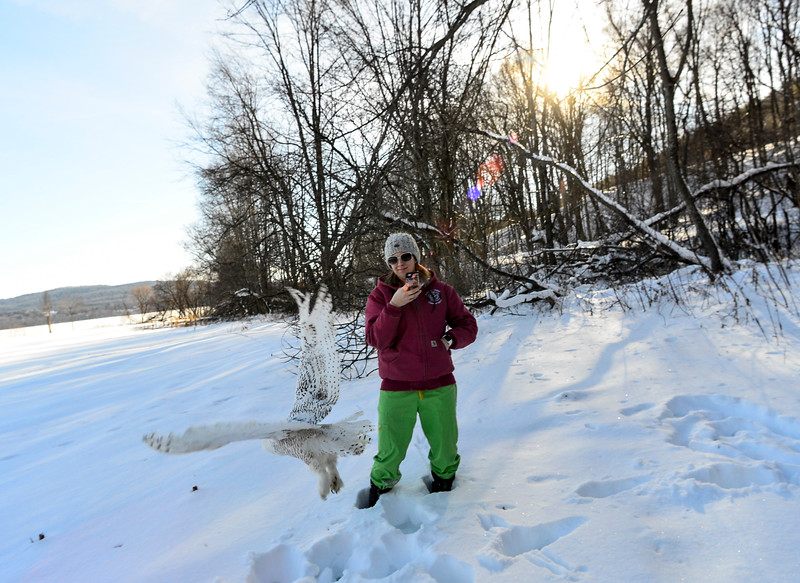 KRISTOPHER RADDER - BRATTLEBORO REFORMER<br /> The snowy owl takes flight through a snow-covered field.