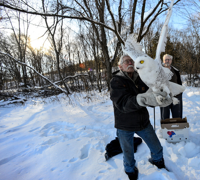 KRISTOPHER RADDER - BRATTLEBORO REFORMER<br /> The snowy owl takes off from the hands Fred Homer, of Williamsville, Vt., on Wednesday, Jan. 10, 2018.